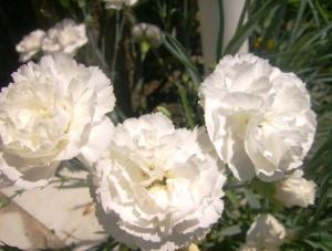 Cravos Brancos, símbolo da maternidade.